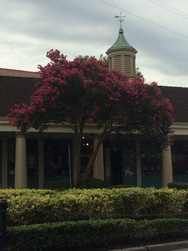 New Orleans Magnolia