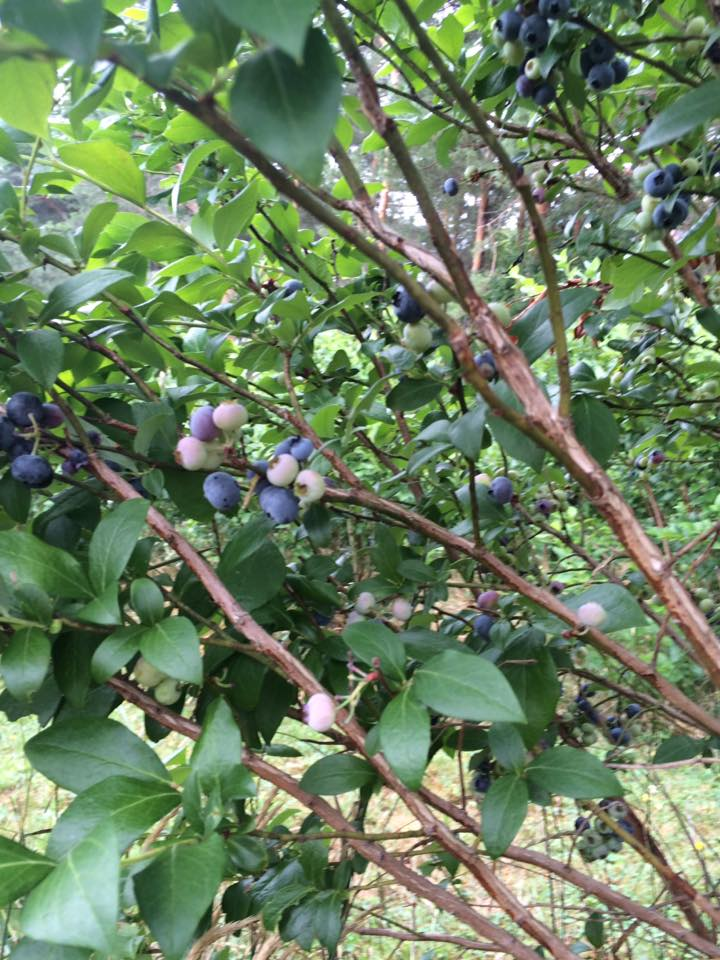 Blueberry Picking in Western New York|The Holy Mess